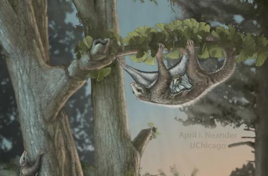 化石揭露这些可爱的滑翔类哺乳动物曾与恐龙一起生活