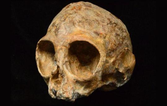 非洲出土的婴儿头骨化石属于古人类祖先物种