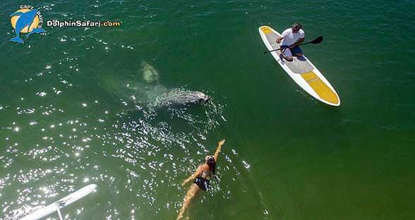 惊喜难忘!灰鲸幼崽亲近南加州浅水区