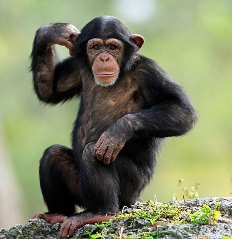 研究:黑猩猩理解能力相当于4岁儿童