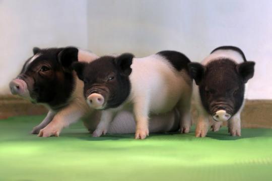 """世界首批对器官移植无""""毒""""活猪诞生"""