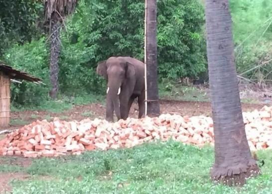 印度一大象半年踩死15人引恐慌 政府:还在想办法