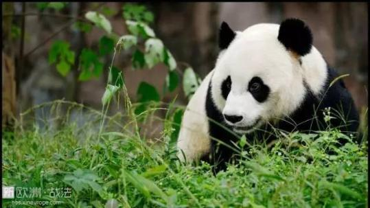 中国驻法大使致信祝贺大熊猫产仔:两国大喜事(图)