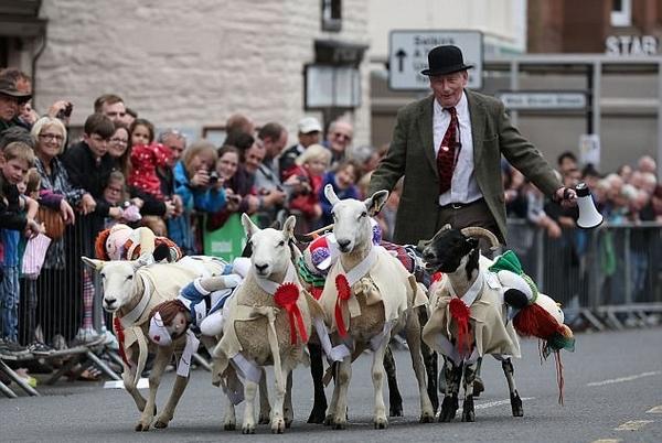 问过它们愿意吗?苏格兰小镇年度绵羊赛跑被取消