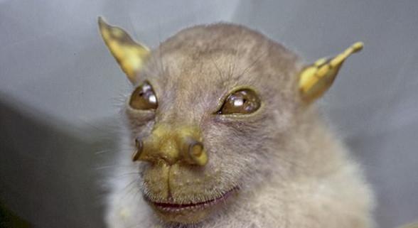 新发现蝙蝠幼崽似《星球大战》尤达 现获官方认证