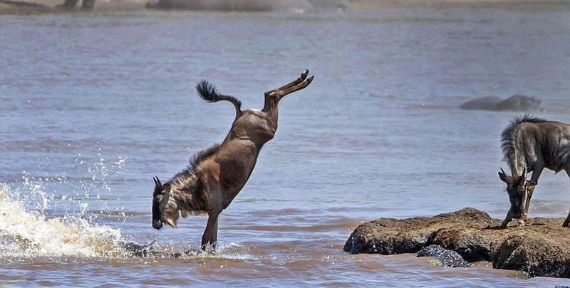 非洲角马迁徙上演精彩跳水