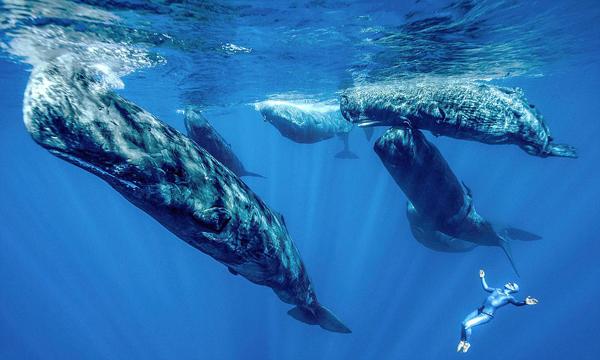非凡感受!法自由潜水者与抹香鲸并肩潜行