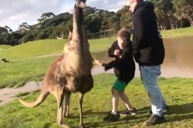 """澳大利亚男孩喂食袋鼠却惨遭""""鼠拳打脸"""""""