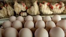 荷兰毒鸡蛋引发欧洲各国互怼 为何中国没事?