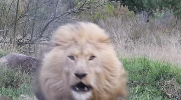 雄狮吃食被打扰 突然冲向围栏吓到游客