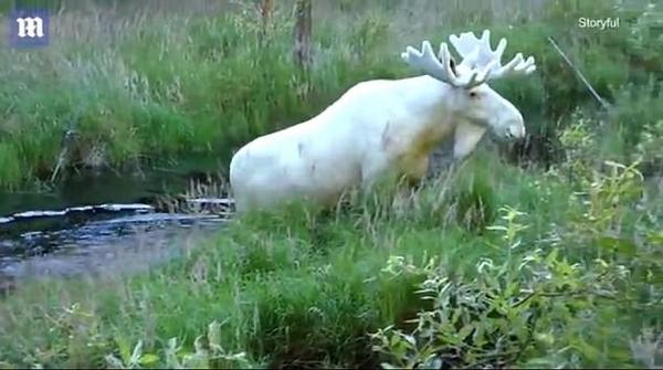 功夫不负有心人!瑞士探险家三年寻得罕见白驼鹿