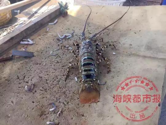 """渔民捕获七彩""""神虾"""":跟10岁小孩一般高 或能卖百万"""