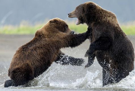 阿拉斯加两母熊水中上演拳击赛