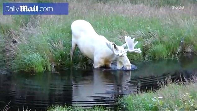 探险家瑞典拍到罕见白色驼鹿 仅存约百头