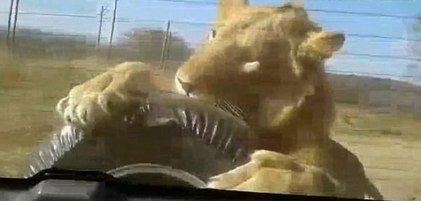 惊魂一刻!南非动物园一游览车遭狮子袭击