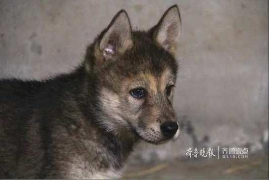 狗生圆满!山东德州动植物园二哈迎娶母狼诞下幼崽