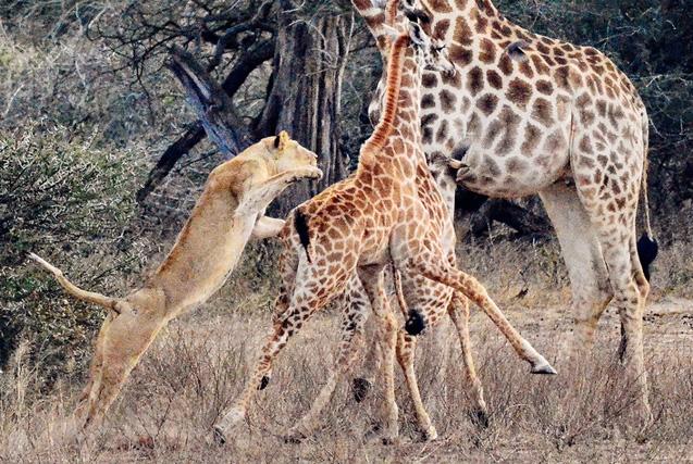 非洲母狮猎食长颈鹿幼崽 尽显凶残本性