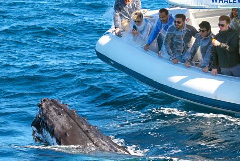 """悉尼港座头鲸跃出海面与游客""""打招呼"""""""
