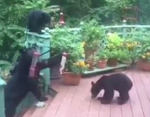 """机智!母黑熊智""""偷""""鸟食让三熊宝享受零食盛宴"""