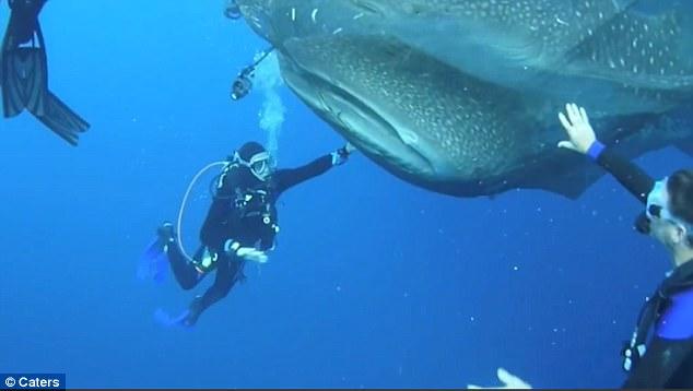 印尼鸟头湾上演感人一幕 潜水员勇救四头鲸鲨