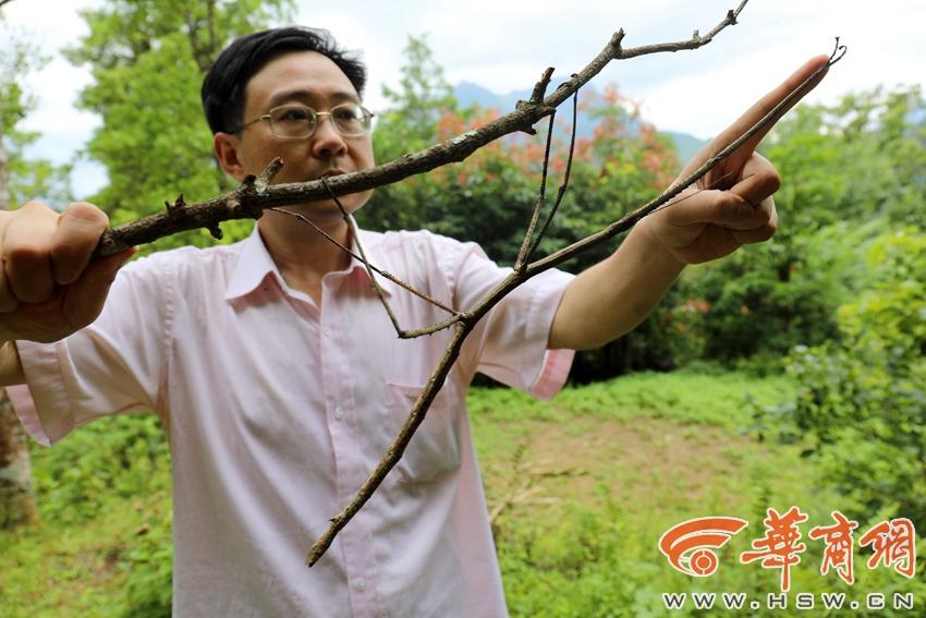 """世界最长昆虫""""中国竹节"""":和手臂一样长"""