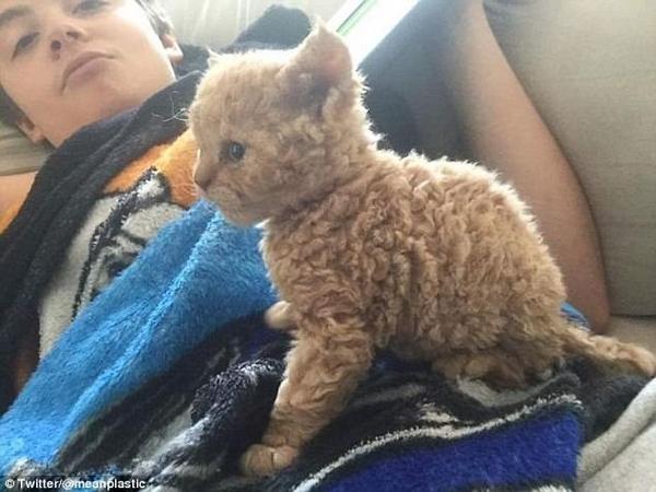 美网友晒稀有卷毛品种猫 卷毛大眼惹人爱