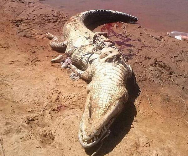 可怕!巴西鳄鱼体内发现失踪多日工人遗骸