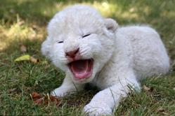"""俄罗斯白狮宝宝张嘴""""怒吼""""奶气十足"""