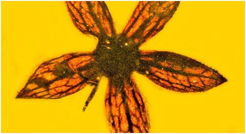 古生物学家在缅甸发现封存上亿年前花朵的琥珀
