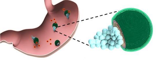 科学家将携带药物的微型马达输送到小鼠胃部