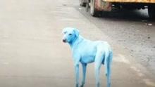 印度惊现蓝色流浪狗 疑因河水污染导致