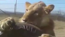 惊魂一刻 南非动物园一游览车遭狮子袭击