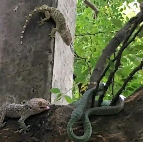 泰丛林中两只蜥蜴勇斗大蛇 令其吐出同伴