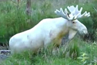 瑞士探险家寻得罕见白驼鹿