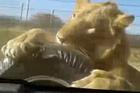 南非游览车遭狮子袭击