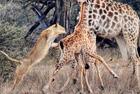 非洲母狮猎食长颈鹿幼崽