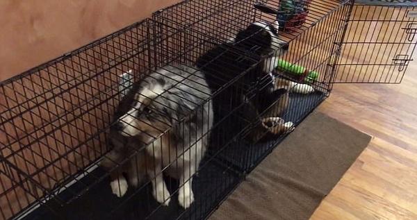 美国两牧羊犬撕毁床垫后 主动躲进笼子领罚
