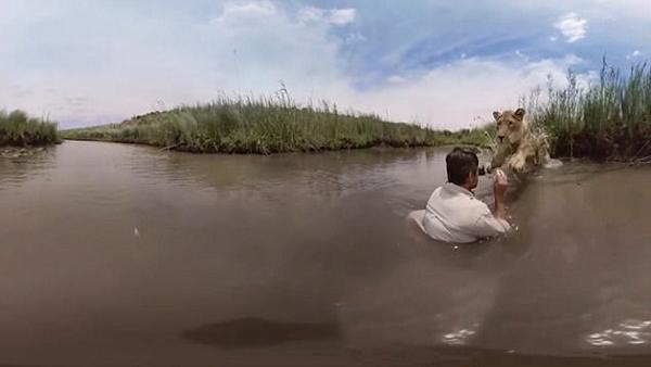 """画面温馨!南非猛狮水中温顺拥抱""""狮语者"""""""