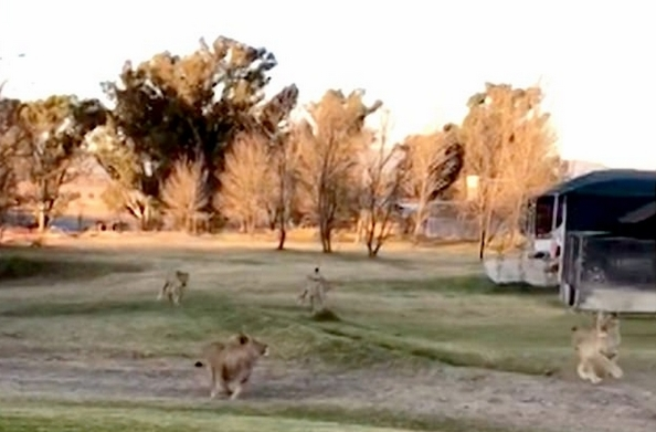 南非幼狮将遥控飞机当玩伴追逐嬉戏萌趣可爱