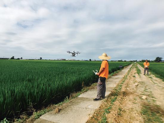 丹东:利用无人机喷洒千亩水稻(图)