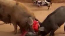 六旬老妇遭两头猪袭击 被拱翻在地疯狂啃咬