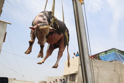 巴基斯坦人用起重机运输牛羊迎宰牲节