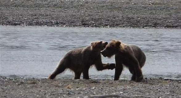 """阿拉斯加""""顽皮""""幼熊摔跤 场面可爱逗趣"""