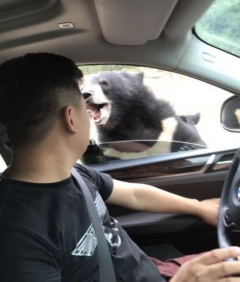 又出事!游客在八达岭野生动物园猛兽区开窗投食被黑熊咬伤手臂