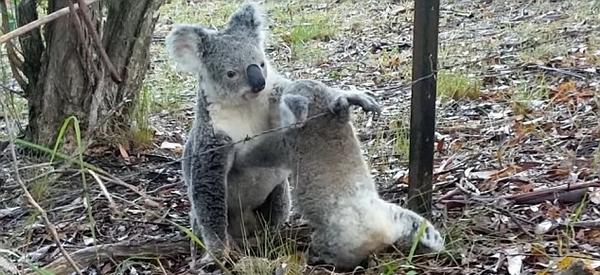 澳考拉妈妈救出被困幼崽 相互依偎画面暖心