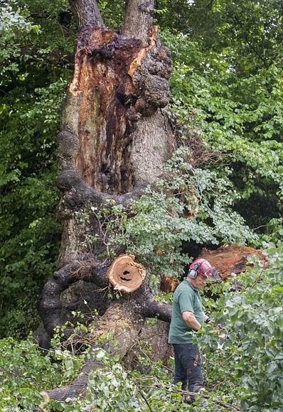 可惜!英百年最老榆树遭遇疾风暴雨倒塌