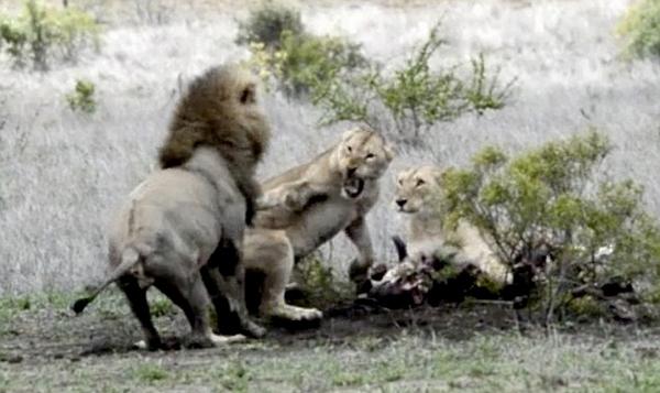 """南非雄狮欲""""狮口夺肉"""" 遭愤怒母狮""""掌掴"""""""