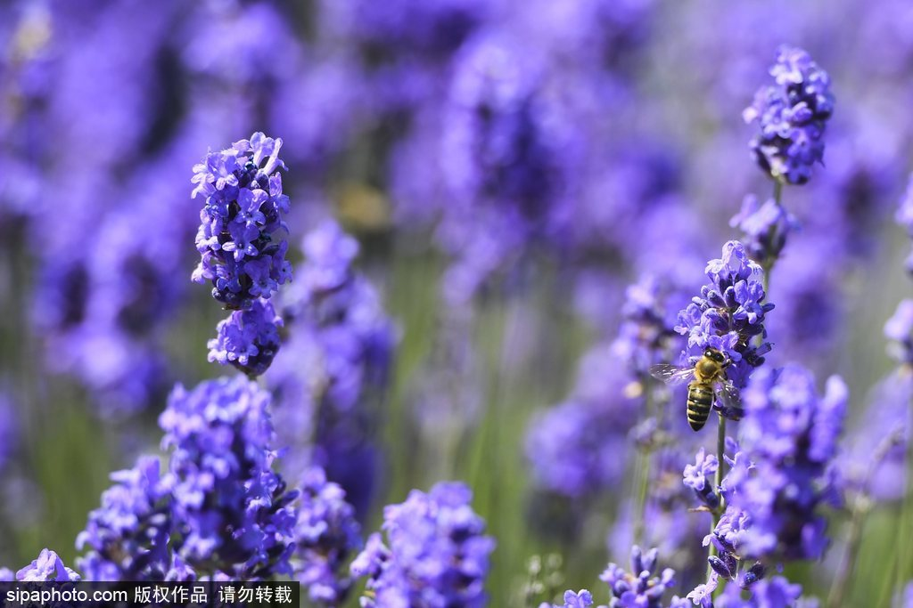 走进比利时薰衣草花田 无法抗拒的浪漫紫