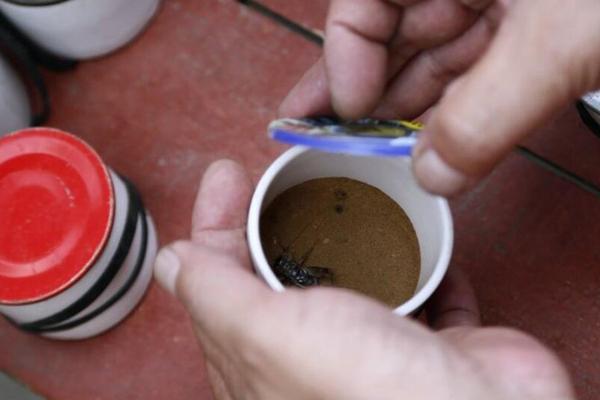 厉害!一只蟋蟀卖5万 山东宁阳每年吸金过亿