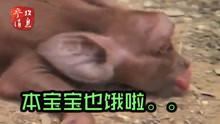 古巴惊现基因突变小猪 只有一只眼睛长得像猩猩